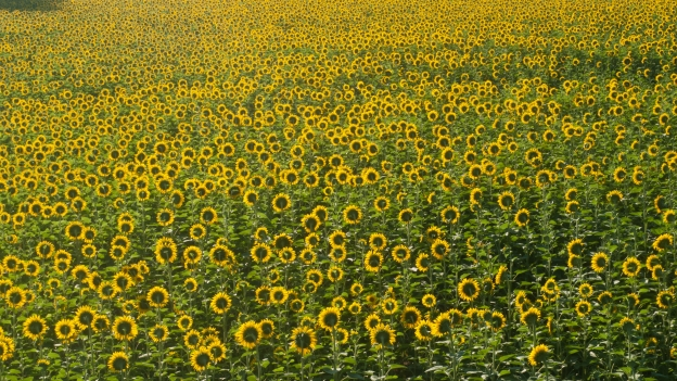 Sunflowers - Umbria