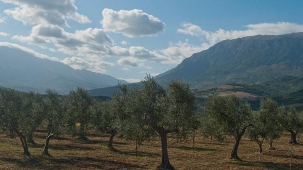 Olive trees (Abruzzo)