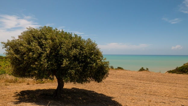 Olive tree on the Sicila coast near Lido Rossello