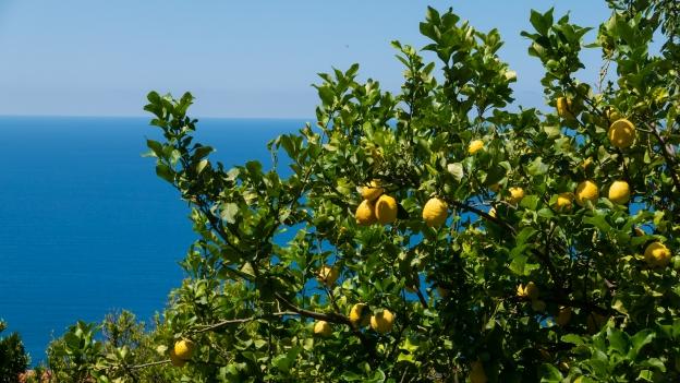 Lemon trees on the Costiera Cilentana near Pisciotta