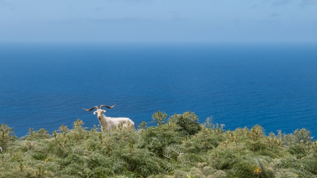 Goat seen from the SP49 coastal road on the way to Bosa