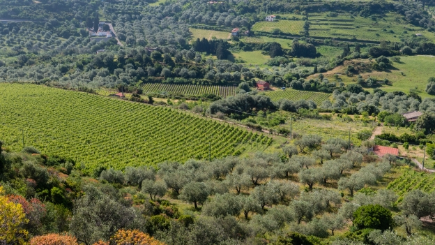 Olive groves and vineyards near Modol - view from the SS129bis