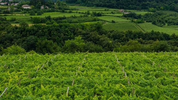 Vineyards near Trento