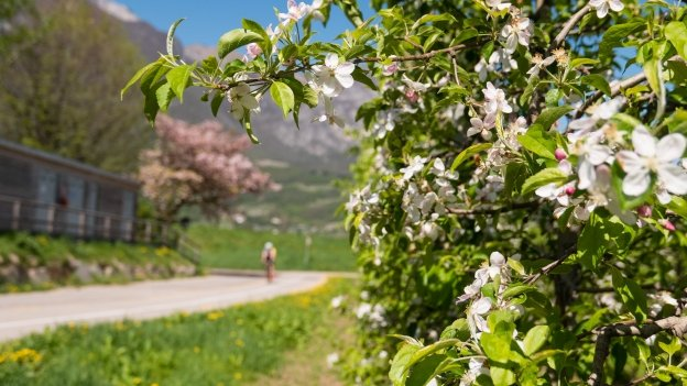 Apple blossom beside the Adige cycleway near Trento