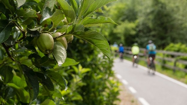 Apples in the trees beside the cycleway near Kaselbell (Castelbello)