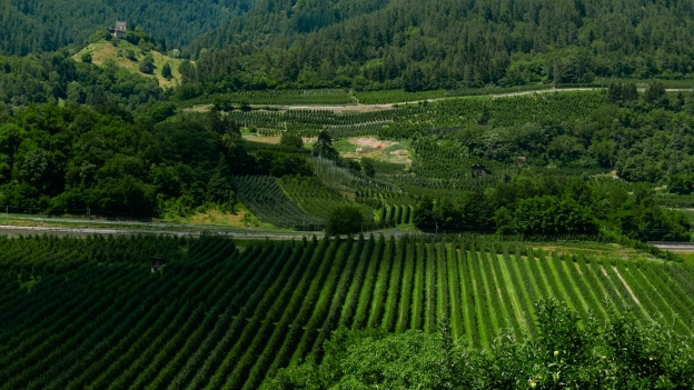 Apple plantations in the Val di Sole, seen from the Val di Sole cycleway near Cavizzana