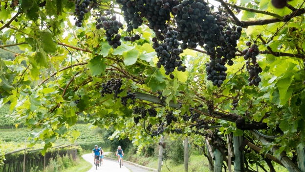 Riding through vineyards near Kaltern (Caldaro)