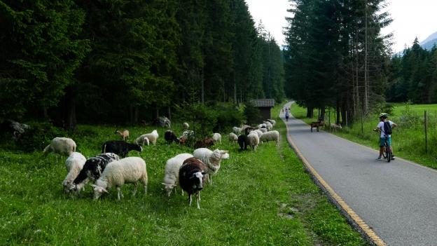 Sheep grazing beside the Val di Fiemme Val di Fassa cycleway near Vigo di Fassa